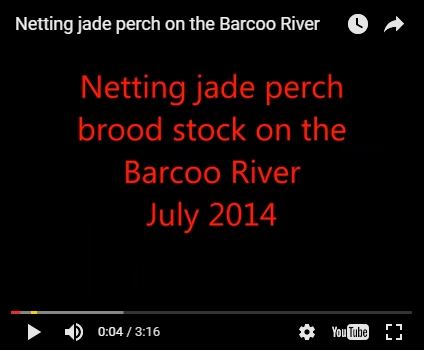 Netting jade perch on the Barcoo River